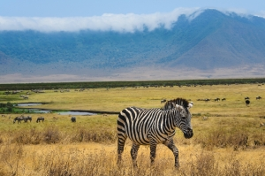 The lonely zebra. Ngorongoro National Park, Tanzania (Africa)
