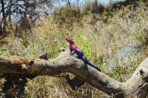 The colorful lizard. Serengeti National Park, Tanzania (Africa)
