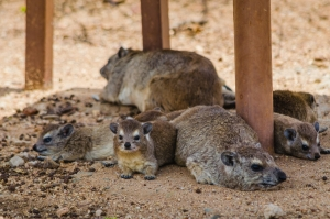 Happy Hyraxes. Serengeti National Park, Tanzania (Africa)