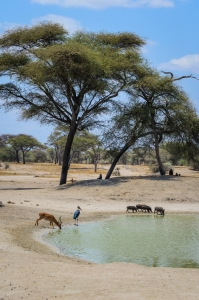 The oasis. Tarangire National Park, Tanzania (Africa)